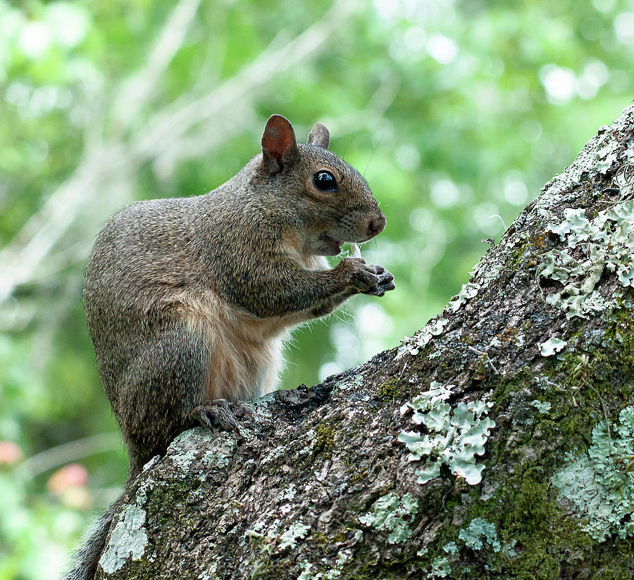 Eastern Grey Squirrel Photograph - Mid Morning Snack by Norman Johnson