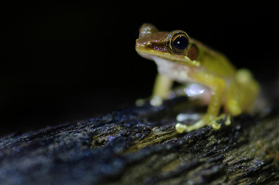 Frog Photograph - Midnight Frog, Borneo by Laura J P Richardson