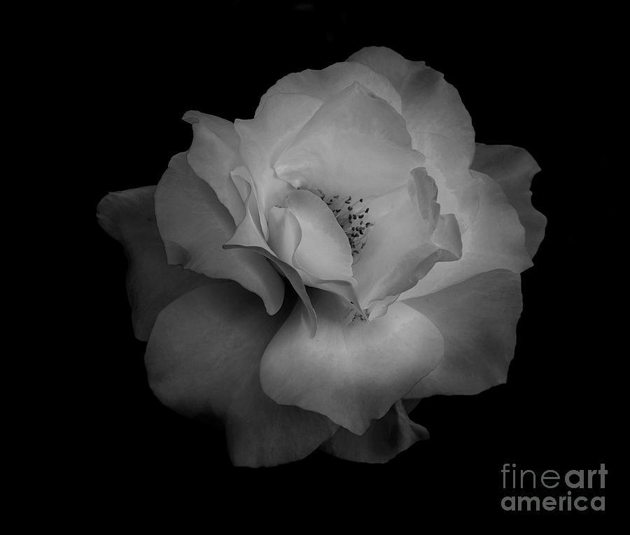 Midnight Rose by Jaime Miller