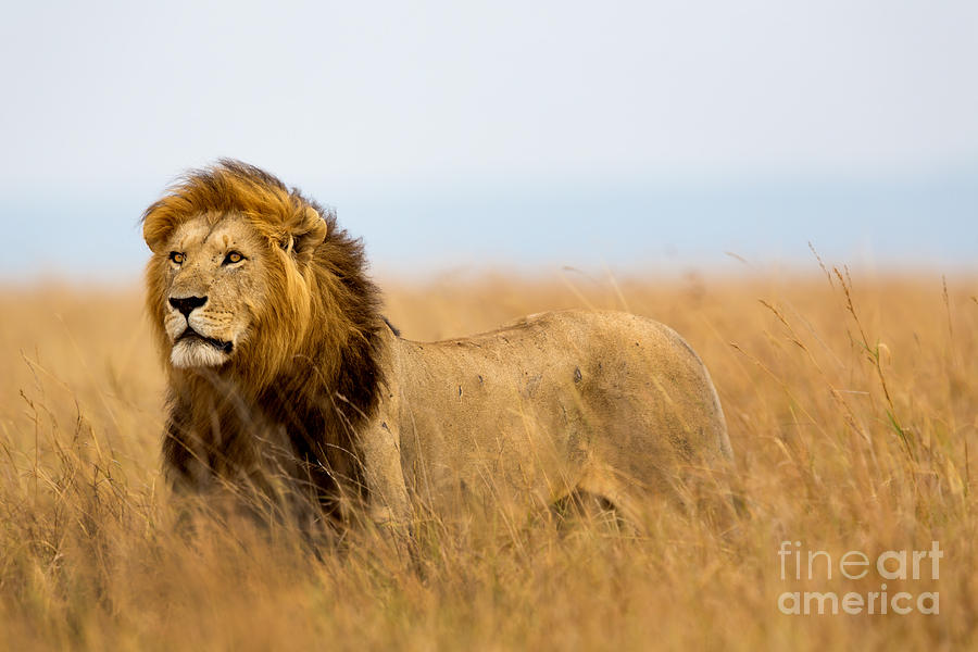 Leader Photograph - Mighty Lion Watching The Lionesses Who by Maggy Meyer