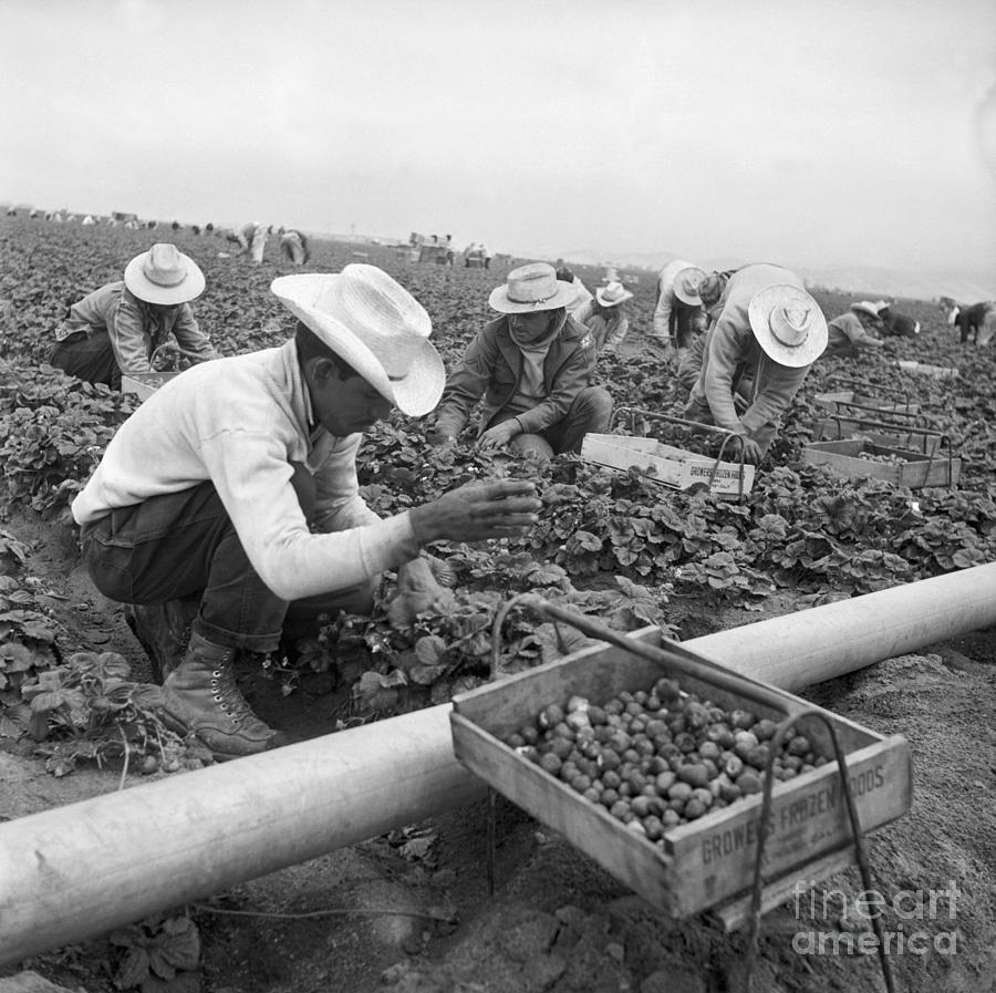 Migrant Mexican Workers Picking Photograph by Bettmann