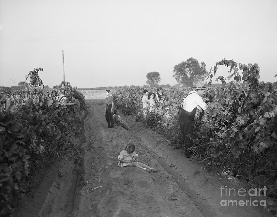 Migrant Workers Harvesting Grapes Photograph by Bettmann