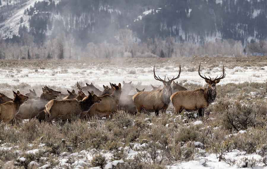 Migrating Elk by Ronnie and Frances Howard