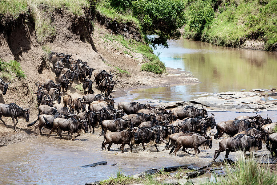 Migration. Herd Of Gnus Passing Mara Photograph by Brittak