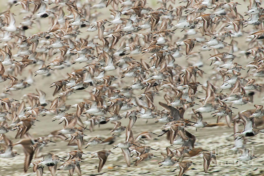Migration of the Shorebirds by Sonya Lang
