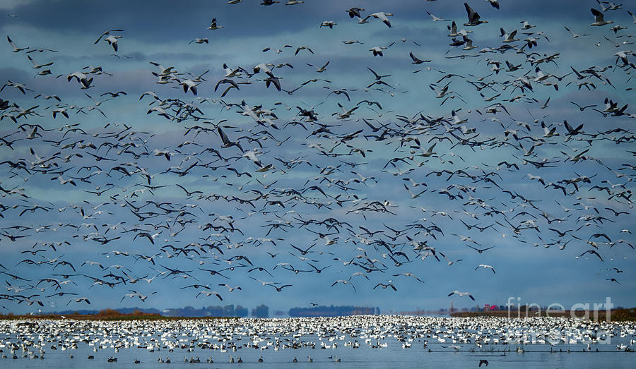 Geese Photograph - Migration Of The Snow Geese by Bob Christopher
