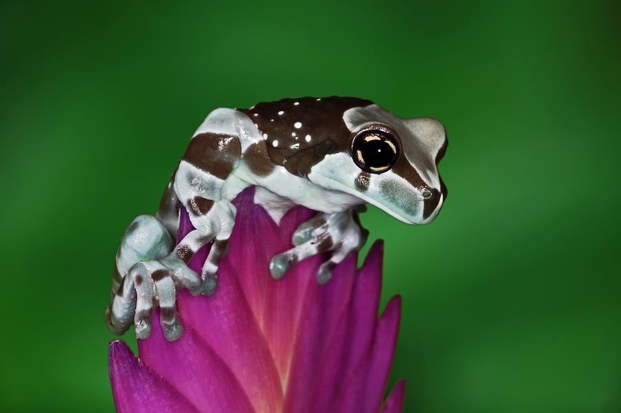 Milk Frog, Trachycephalus Resinifictrix Photograph by Adam Jones