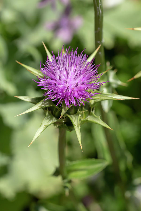 Milk Thistle by Dawn Cavalieri