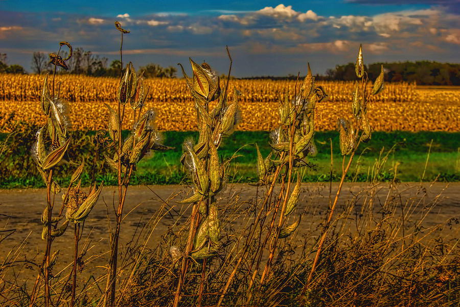 Milkweed And Corn Harvest Photograph
