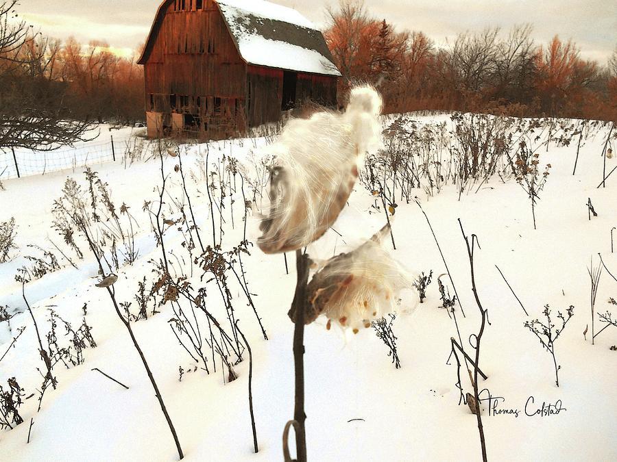 Milkweed and Old Barn by Thomas Colstad
