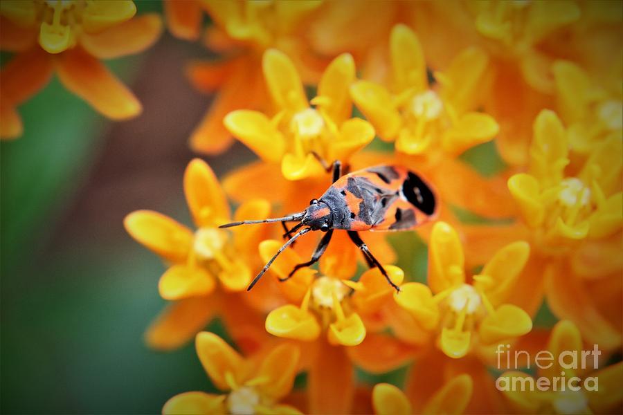 Milkweed Flowers Milkweed Beetle Photograph