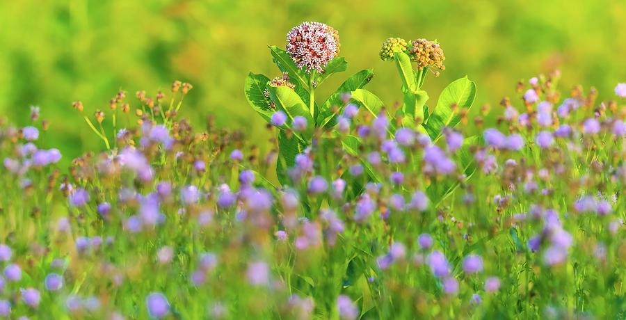 Milkweed Wildflower Field by Dan Sproul