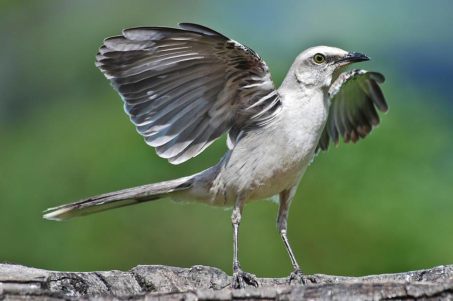 Mimus Gilvus Photograph by Photo By Priscilla Burcher