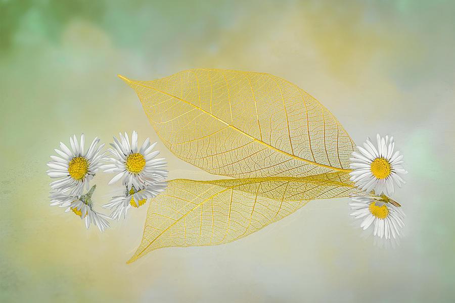 Daisy Photograph - Mini Daisy by Lydia Jacobs