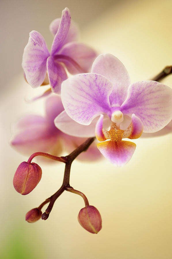 Mini Flowering Pink Phalaenopsis Orchid Photograph by Maria Mosolova
