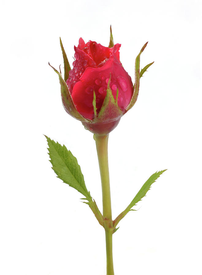 Miniature Pink Rose Bud With Water Photograph by Rosemary Calvert
