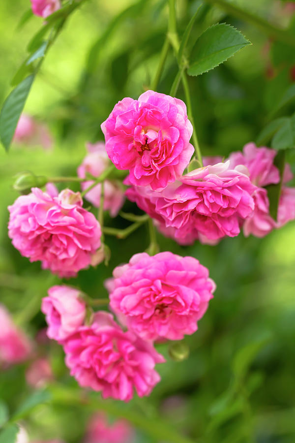 Miniature Pink Roses by Dawn Cavalieri
