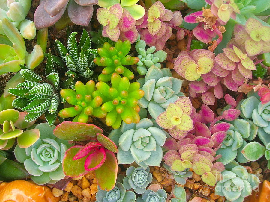 Container Photograph - Miniature Succulent Plants by Dinodentist
