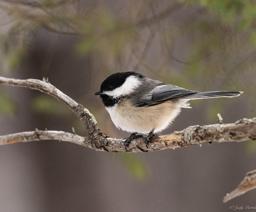 Minnesota Chickadee by Jody Partin