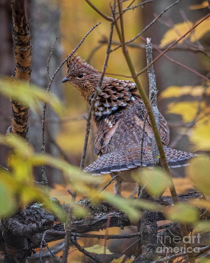 Minnesota Ruffed Grouse King  by Timothy Flanigan