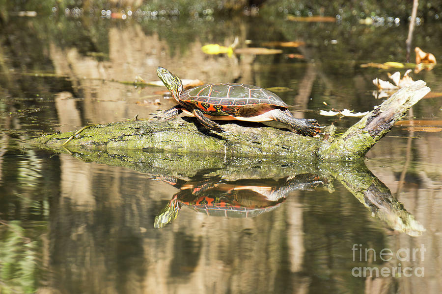 Mirror Painted Turtle by Randall Saltys