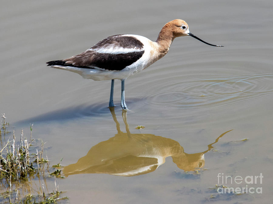 Mirrored Avocet by Mike Dawson
