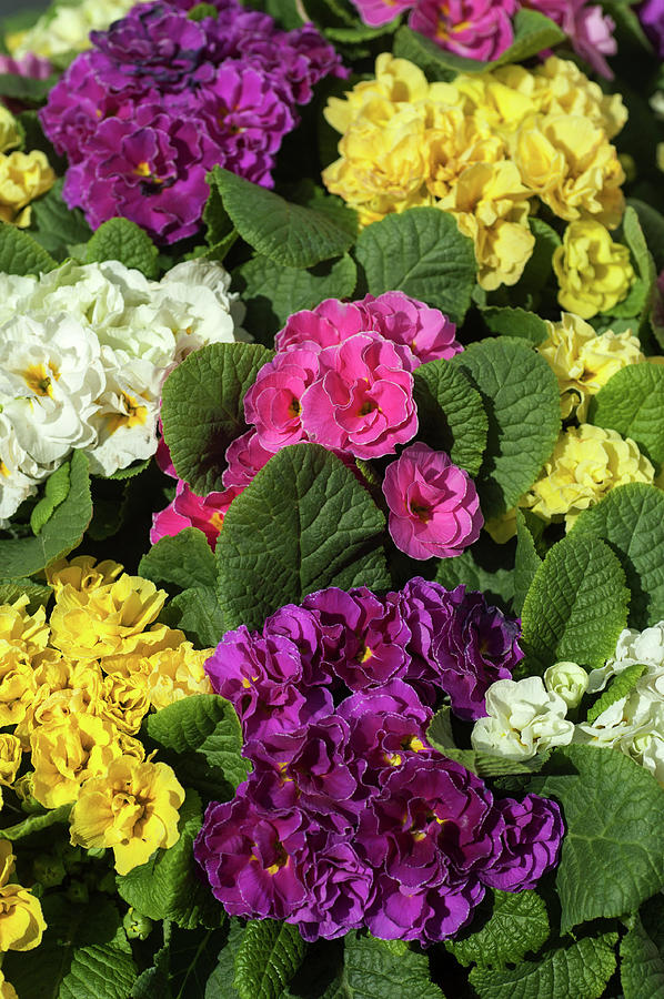 Mix Of Colorful Double Primroses 1 by Jenny Rainbow