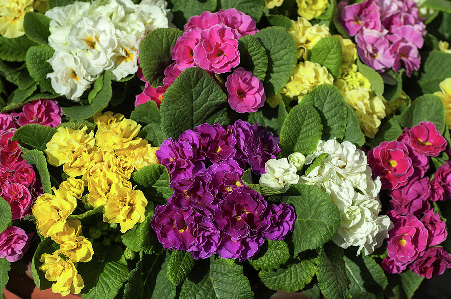Mix of Colorful Double Primroses by Jenny Rainbow