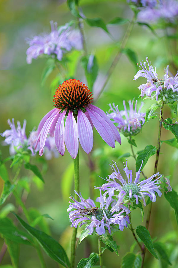 Purple Cone Flower Photograph - Mixed Beauty by Dale Kincaid