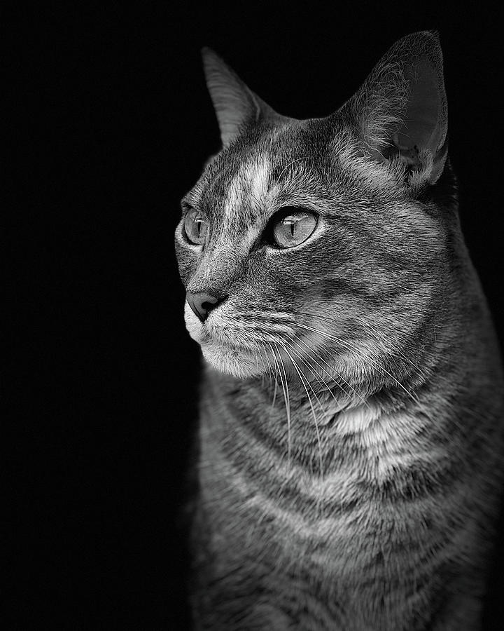 Miyu Cat Bw Portrait Photograph