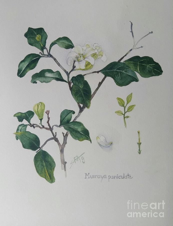 Mock Orange Murraya  paniculata by Sandra Phryce-Jones