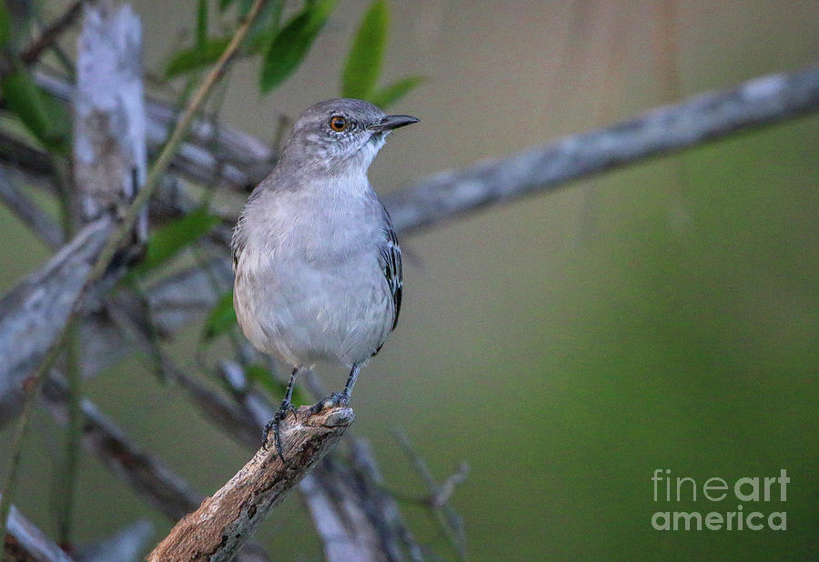 Mocking Bird Perch by Tom Claud