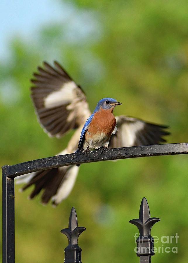 Eastern Bluebird Photograph - Mocking Bluebird Photo Bomb by Cindy Treger