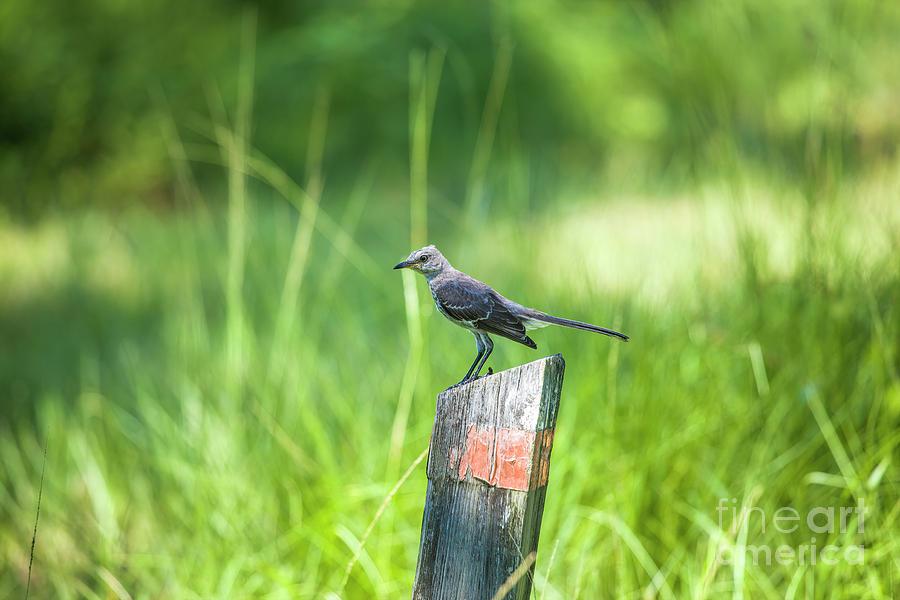 Mockingbird by Felix Lai