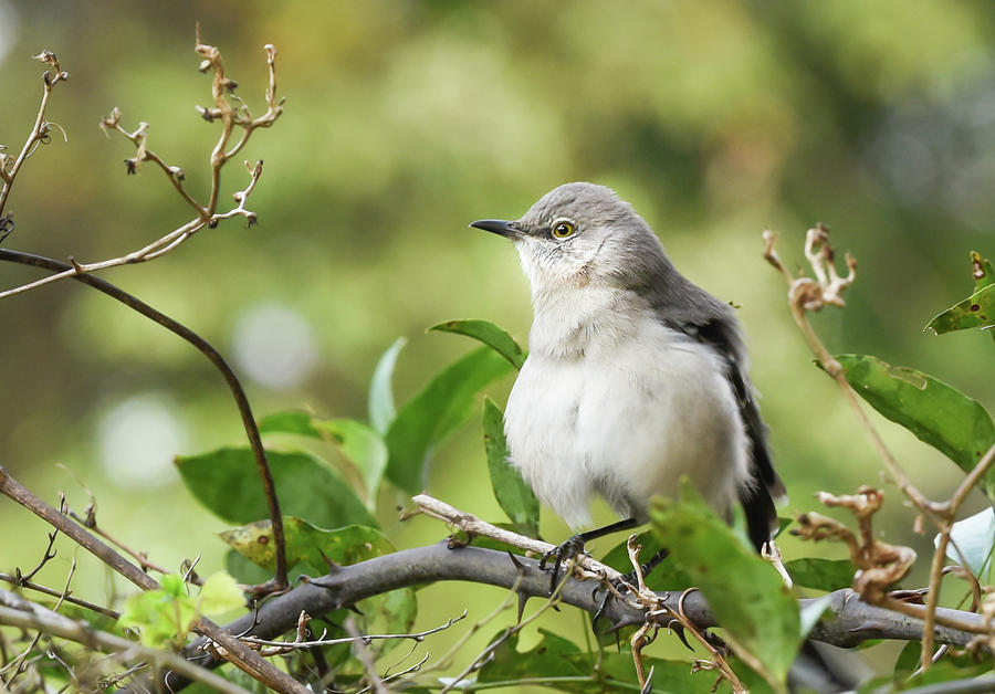 Mockingbird in Alabama by Serena Vachon