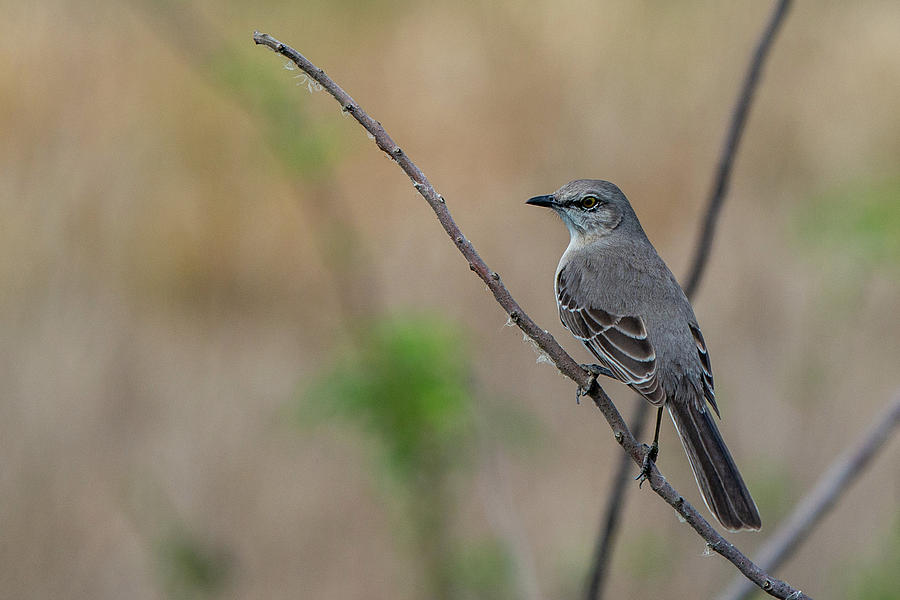 Mockingbird of Savannah by Douglas Wielfaert