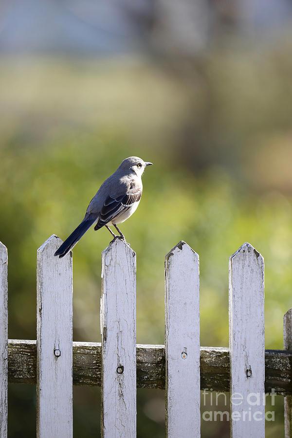 Mockingbird on a Fence by Rachel Morrison