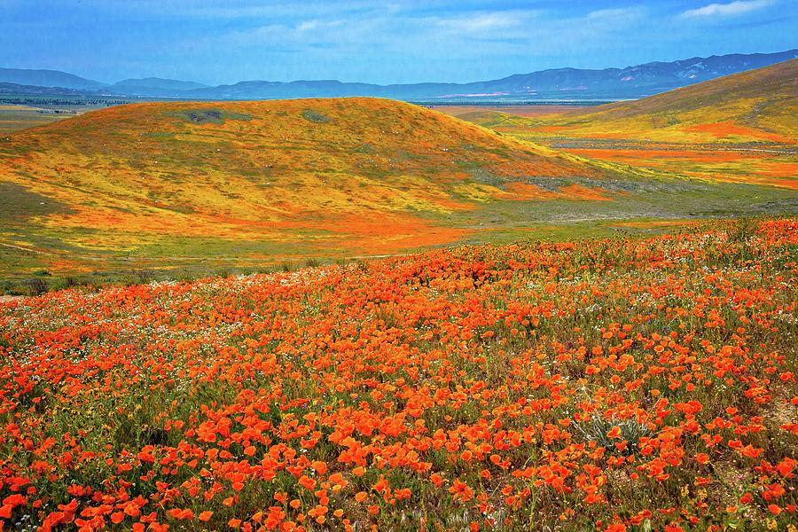 Mojave Orange - Superbloom 2019 by Lynn Bauer