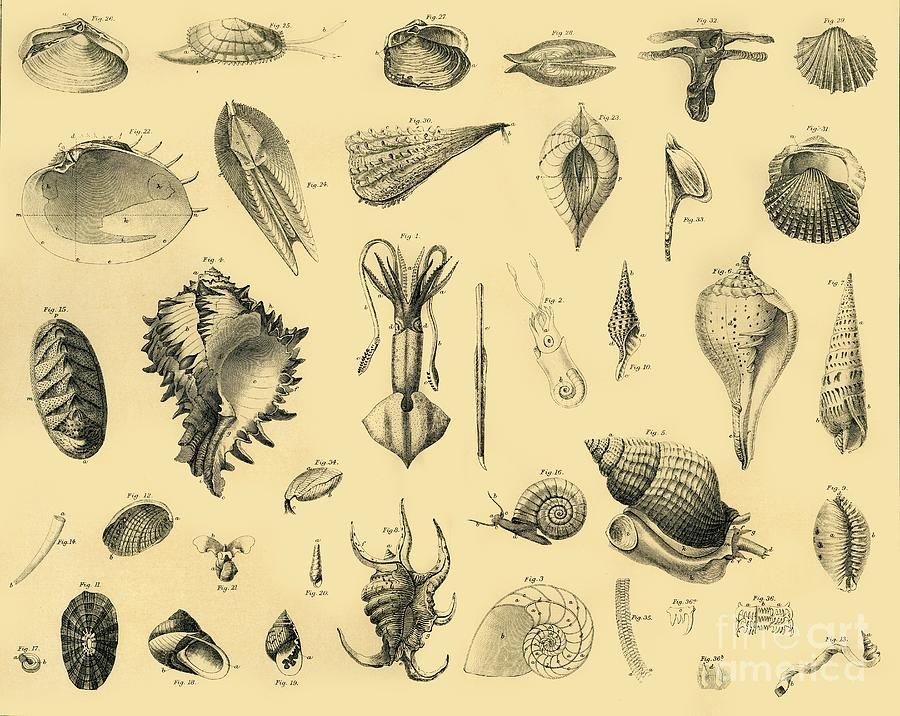 Mollusca Drawing by Print Collector