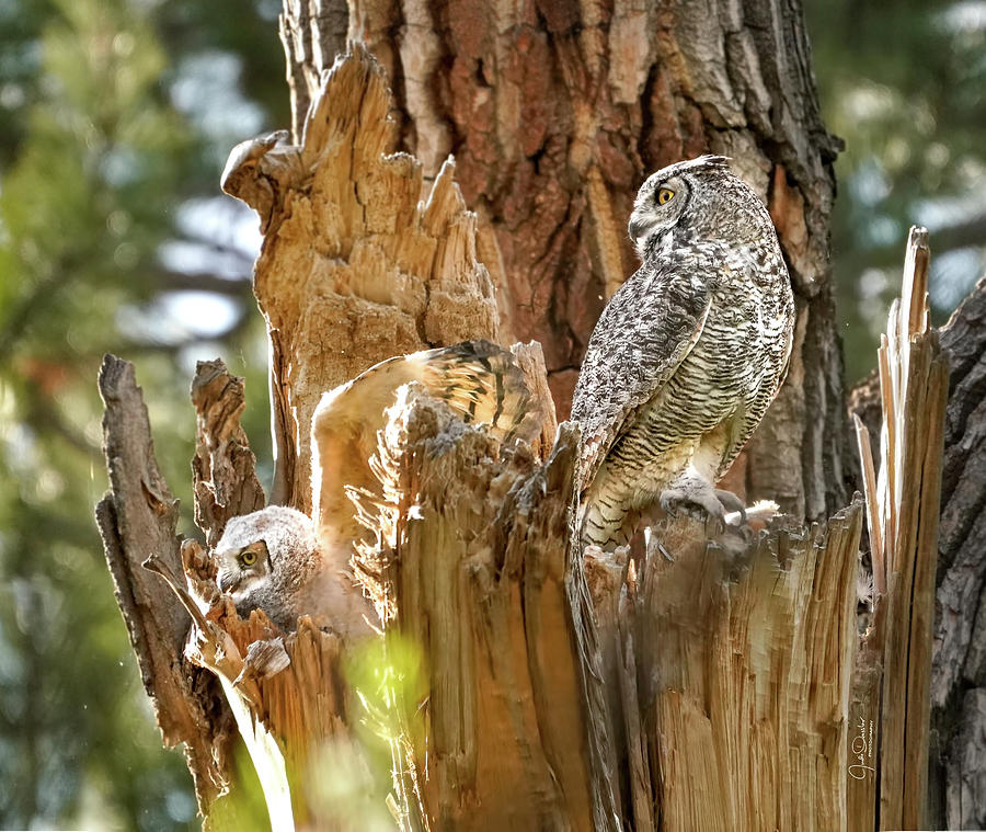 Mom and Baby Great Horned Owl by Judi Dressler