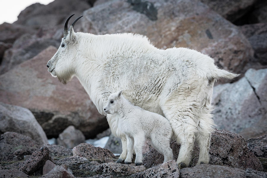 Mom and Baby Mountain Goat by Gary Kochel