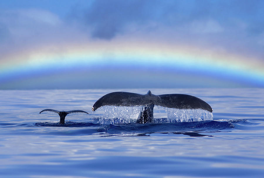 Mom And Calf Humpback Whales Off Maui Photograph by David Olsen