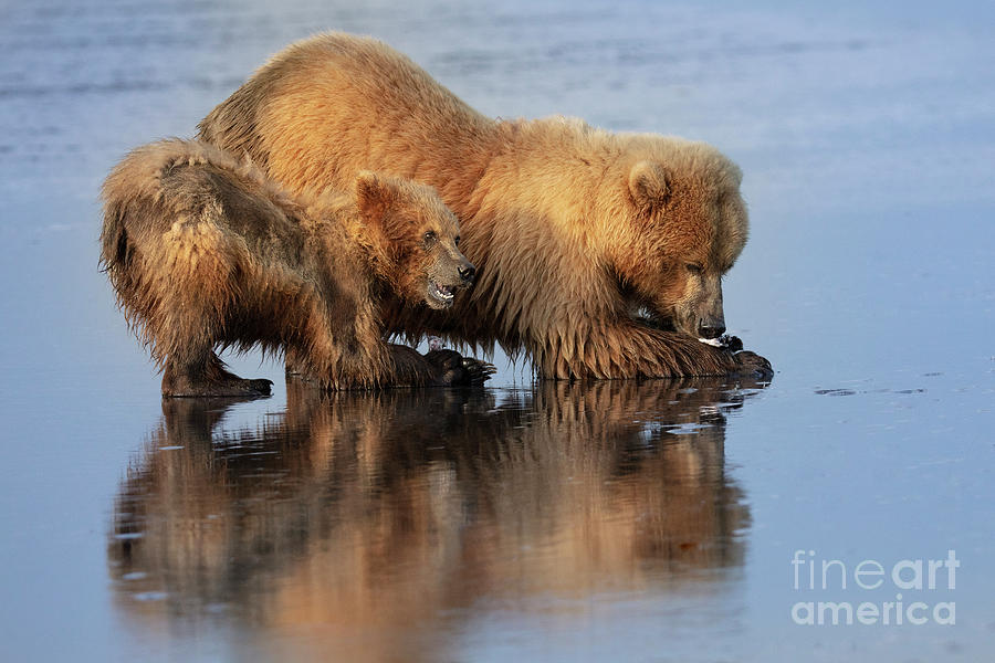 8aad16a3 Mom And Cub Claming. Momma bear and cub clamming in Lake Clark National  Park, Alaska. Linda D Lester