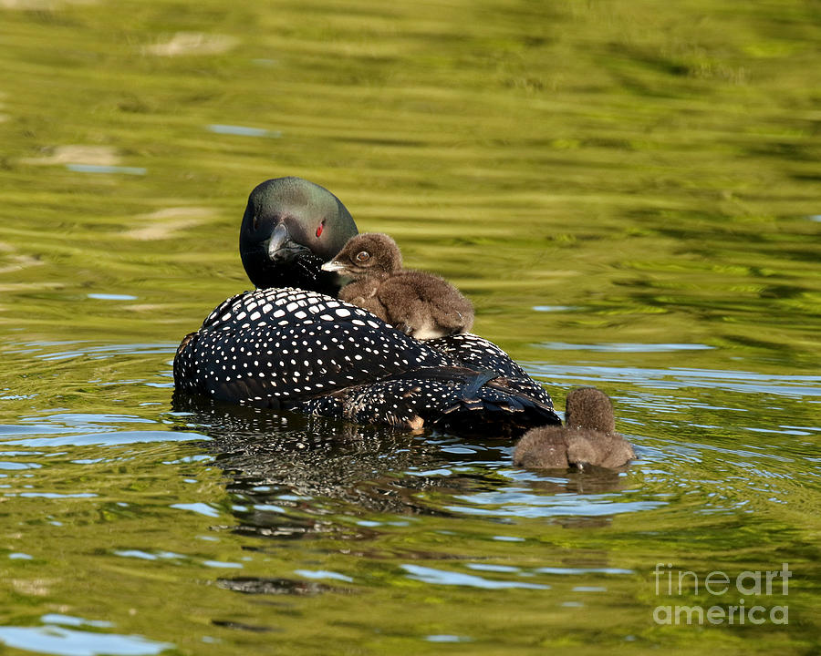 Mom Loon And Her Babies Photograph