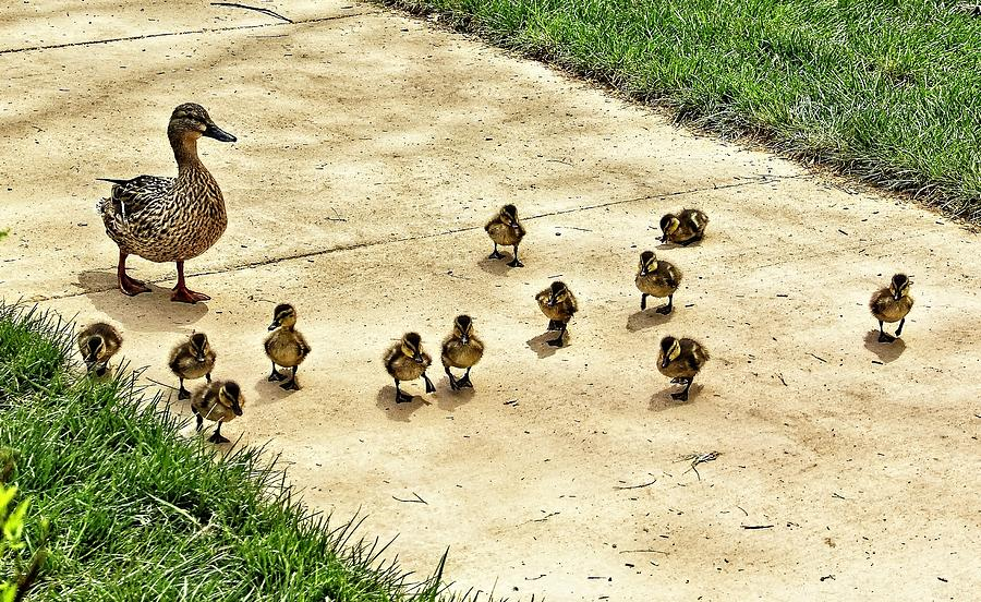 Momma and Ducklings by Allen Nice-Webb