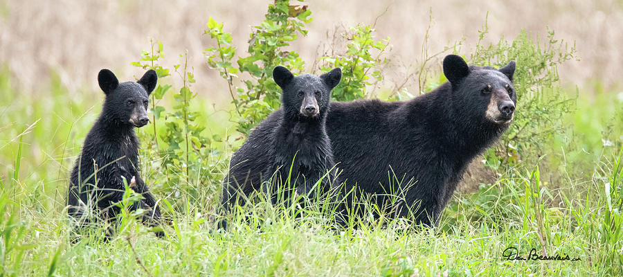 Momma and Two Cubs 5537 by Dan Beauvais