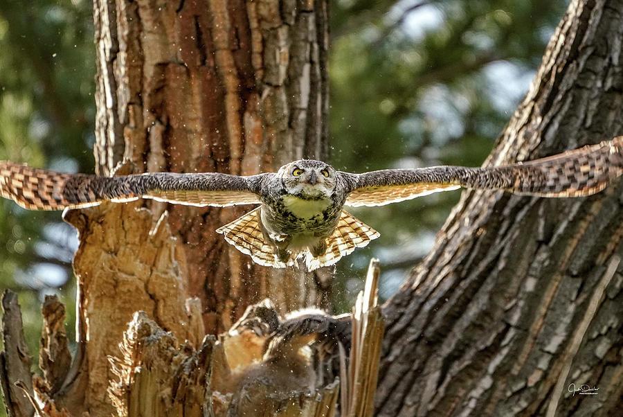 Momma Great Horned Owl Blasting out of the Nest by Judi Dressler