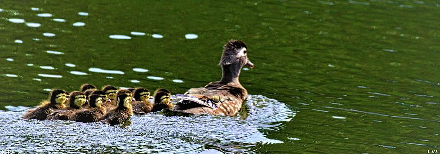 Momma Wood Duck With Her Brood by Lisa Wooten