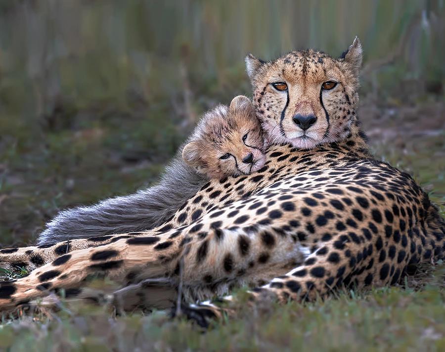 Cheetah Photograph - Mommys Little Baby by Annie Poreider