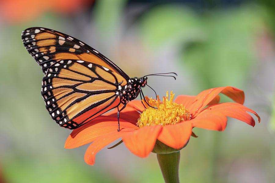 Monarch Butterfly Photograph - Monarch 2018-25 by Thomas Young